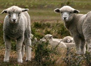 IMG_3892 zugeschnitten Schafe (740x1024)